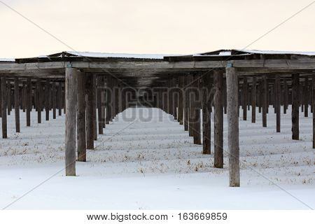 Rows of ginseng covered with snow in Wisconsin.