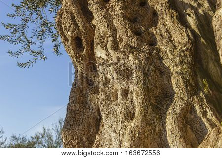 Centenary plant:old olive tree.Apulia.Italy.Trunk detail with the wood grain:natural texture of wood.