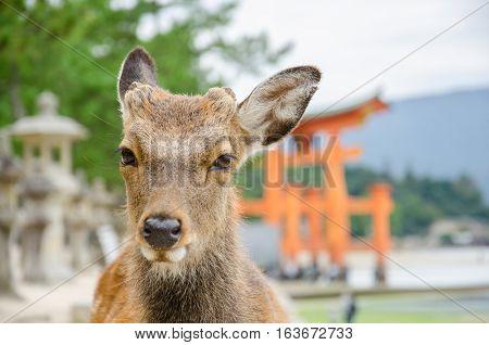 Wild Lonely Deer and floating torii gate in Itsukushima Jinja Shrine Itsukushima (Miyajima) Japan.
