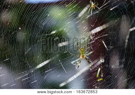 Giant Golden Orb Spider Sitting on the Web in Hiroshima Japan
