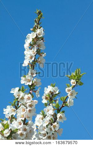 Apple tree branches with white flowers over blue cloudless sky in spring closeup