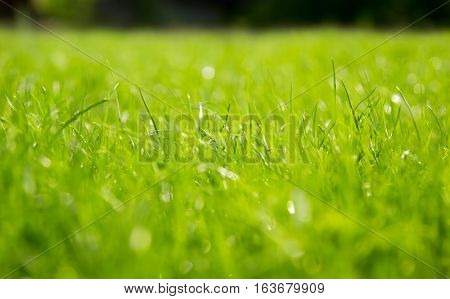 Green lush green lawn. Young grass. Shallow depth of field