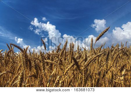 Wheat Field. Ears Of Golden Wheat Close Up. Beautiful Nature Wheat Landscape With Blue Sky And Cloud