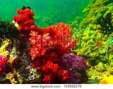The colorful coral reef with sea urchin in tropical sea, underwater.