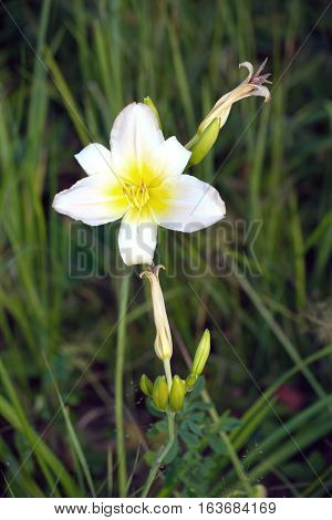 Open flower daylily growing in green grass. Vertical close-up photos