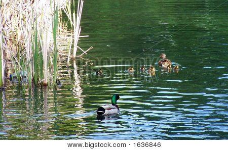 Duck Family Swimming