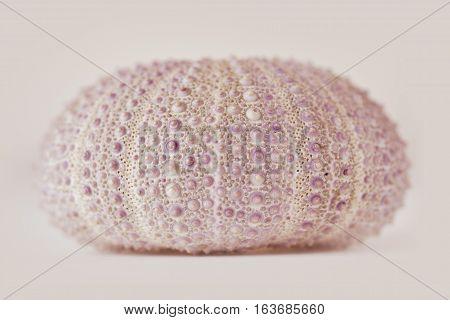 Sea urchin on white background - macro photograph