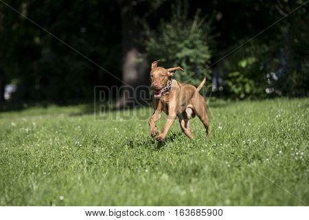 Portrait of a Hungarian Vizsla dog at park