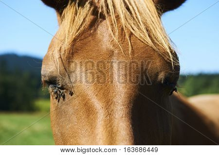 Close up of brown horse head tortured by flies in summer.