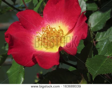 Red rose flower with yellow stamens .