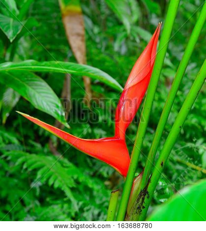 Heliconia Longa Helicomiaceae Flower