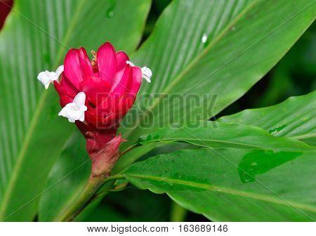 Hawaii Ginger Flower
