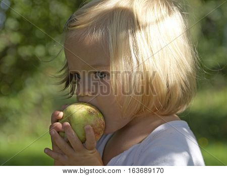 Harvesting apples. Beautiful little blond girl helping in the garden and picking apples