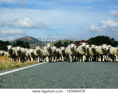 Sheep Herd Takes Over New Zealand Road