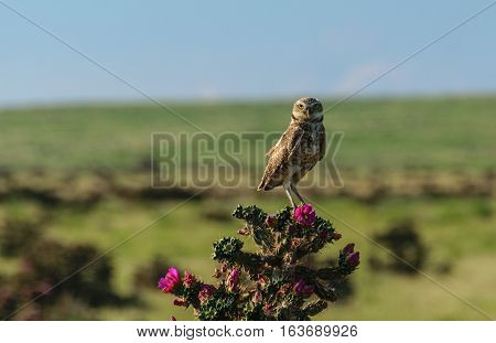 Burrowing Owl on Blooming Cholla Cactus at Sunset