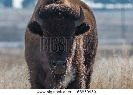 Bison Breath on a Frigid Winter Morning