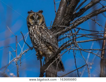 Long-eared Owl at Sunset in NE Colorado