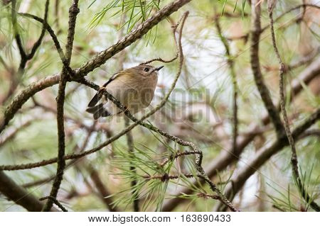 Goldcrest (Regulus regulus) on Scots Pine (Pinus sylvestris). Britain's smallest bird in the family Sylviidae seen from below on coniferous tree