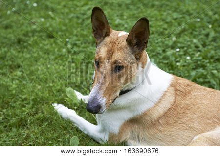 Male pure breed golden smooth (short haired) collie lying on the grass