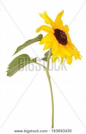 One beautiful sunflower isolated on white backgraund