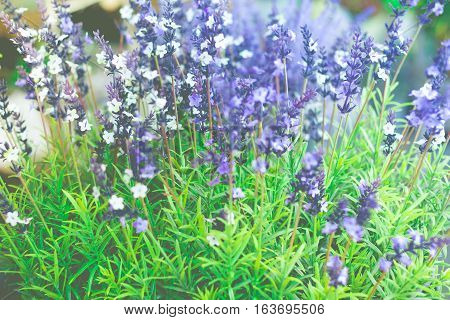 Growing lavender flower In a field at sunset. Lavender flower with shallow depth of field.