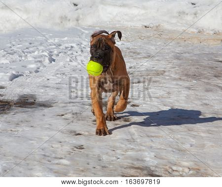 Closeup portrait of Little puppy (age four months) breed South African Boerboel (South African Mastiff) executes the command