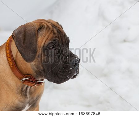 Closeup portrait of Little puppy (age four months) breed South African Boerboel (South African Mastiff)
