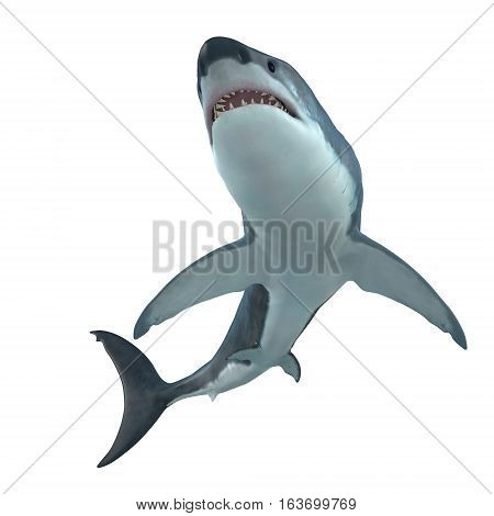 Great White Shark Cruising 3D illustration - The Great White Shark is the largest predatory shark in the ocean and can grow to 26 feet and can live for 70 years.