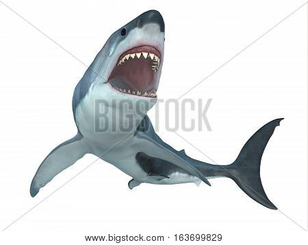 Great White Shark From Below 3D illustration - The Great White Shark is the largest predatory shark in the ocean and can grow to 26 feet and can live for 70 years.