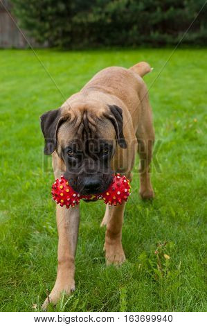 Closeup portrait of Little puppy (age five months) breed South African Boerboel (South African Mastiff) executes the command