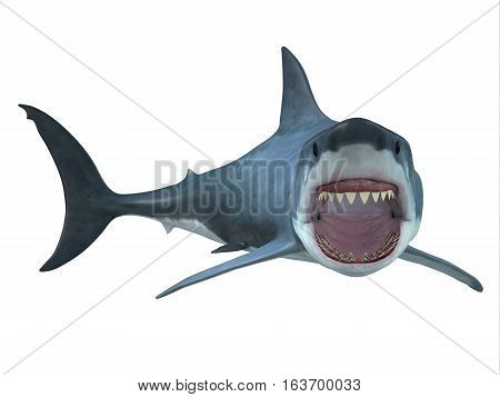 Great White Shark Right Turn 3D illustration - The Great White Shark is the largest predatory shark in the ocean and can grow to 26 feet and can live for 70 years.