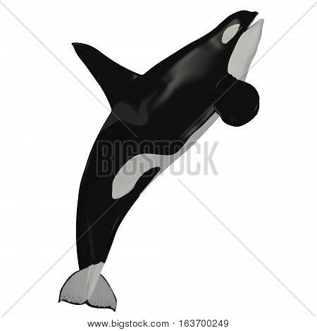 Killer Whale Male 3D illustration - The Killer Whale also known as Orca is one of the largest predators of the oceans and is very intelligent.