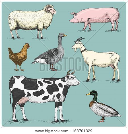 domestic farm animals engraved, hand drawn vector illustration in woodcut scratchboard style, vintage drawing species. cow. chicken. goat, mallard and goose, pig and sheep
