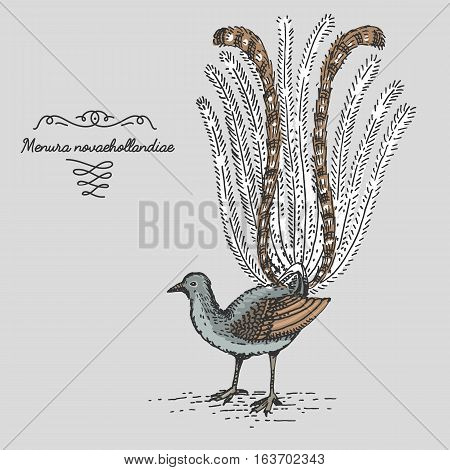superb Lyrebird engraved, hand drawn vector illustration in woodcut scratchboard style, vintage drawing australian species. menura novaehollandiae