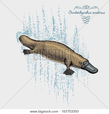 platypus duck billed engraved, hand drawn vector illustration in woodcut scratchboard style, vintage drawing australian species. swimming ornitorhynchus anatinus