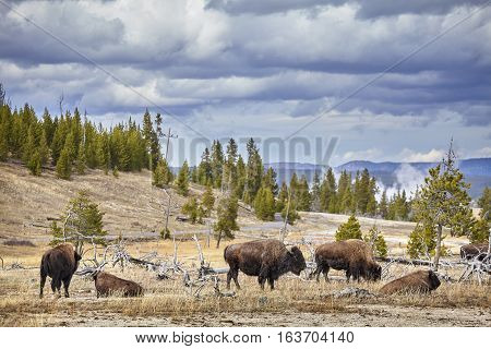 Herd Of American Bison (bison Bison) Grazing In Yellowstone National Park.