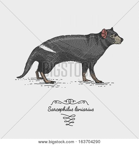 tasmanian devil engraved, hand drawn vector illustration in woodcut scratchboard style, vintage drawing australian species. sacrophilus laniarius