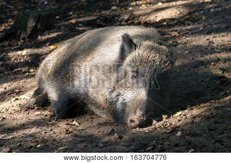Monster wild boar lying in autumn forest