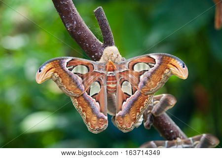 Attacus Atlas Moth Butterfly In Branch