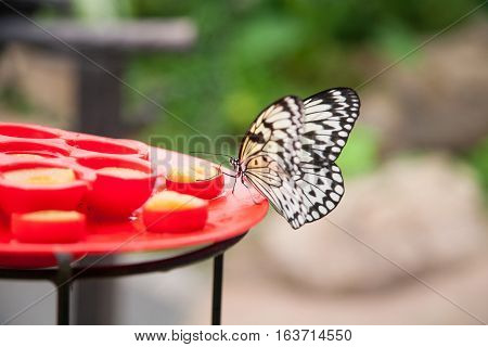 Butterfly Idea Leuconoe On Red Plate