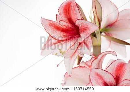 Hippeastrum Amaryllis Charisma Dutch hybride big white-pink flowers