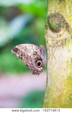 Butterfly Morpho Peleides On Green Trunk