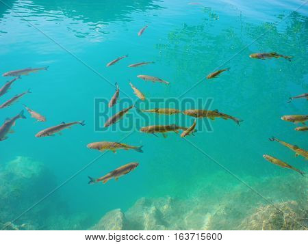 Fishes in clear blue water of the lake in Plitvice Park.