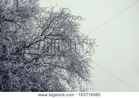 Tangled tree full of little rime, snow meager