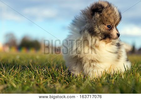 Little Puppy. Small Pomeranian Puppy.pomeranian Spitz-dog
