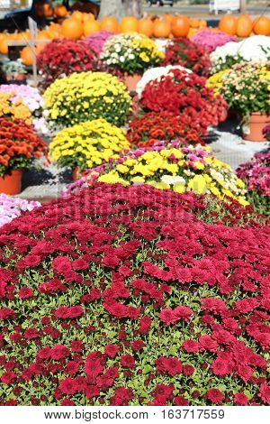 red chrysanthemums with multi colored pots of chrysanthemums and pumpkins in the background