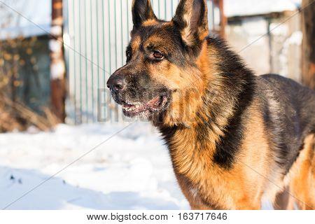 Dog German Shepherd In A Village In A Winter