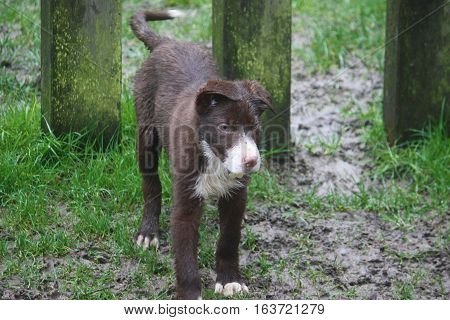 Cute Red And White Border Collie Puppy Dog Pet