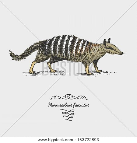 engraved, hand drawn vector illustration in woodcut scratchboard style, vintage drawing australian species. numbat myrmecobius fasciatus