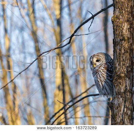 The barred owl is a large typical owl native to North America. Best known as the hoot owl for its distinctive call, it goes by many other names, including eight hooter, rain, wood  and striped owl.